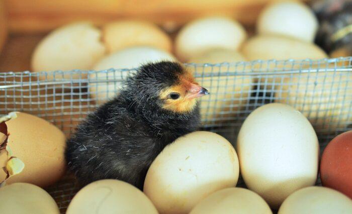 Poultry farming in nigeria 2020