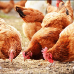 Types of poultry farming in nigeria. Facts you need to know