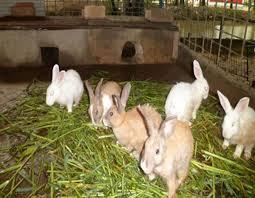 Rabbit Farm in Nigeria